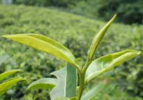 chinese tea origin